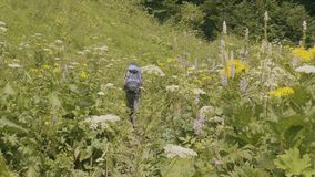 Tourist with backpack hiking on summer meadow and green forest background stock footage