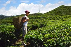 Tourist with a basket on a tea plantation. Stock Images