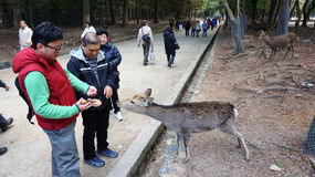 Tourist be greeted by the deer from nearby Nara Park on approach to Todaiji Royalty Free Stock Photo