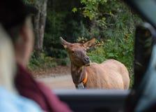 Tourist beobachten sicher Elch-Kuh vom LKW Lizenzfreies Stockbild