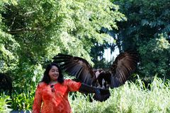 Tourist bird interaction with a hooded vulture at Jurong Bird Park. At the Kings of the Skies Show featuring birds of prey at Jurong Bird Park, Singapore. The royalty free stock photos