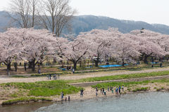 Tourist boat and Kitakami riverside Cherry blossoms in Japan Royalty Free Stock Photography