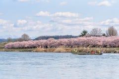 Tourist boat and Kitakami riverside Cherry blossoms in Kitakami Royalty Free Stock Image