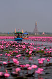 Tourist boat travel for see pink lotus Stock Photos