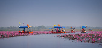Tourist boat travel for see pink lotus Stock Image