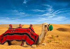 Tourist camel Royalty Free Stock Photography