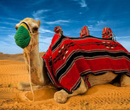 Tourist camel on sand dunes Royalty Free Stock Images