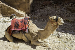 Tourist Camel Royalty Free Stock Photos