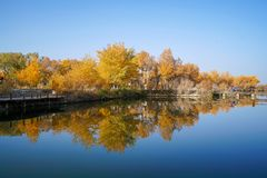 Tourist and Colorful Populus Water Reflection in autumn by River Tarim. In Autumn is the golden season of Populus diversifolia eyeful looked full of pictures stock photo