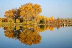 Tourist and Colorful Populus Water Reflection in autumn by River Tarim. In Autumn is the golden season of Populus diversifolia eyeful looked full of pictures royalty free stock photography