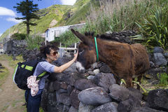 Tourist cuddle donkey in Azores, Portugal Royalty Free Stock Photography