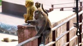 Tourist, der einen Affen einzieht stock video footage