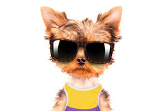 Tourist dog with shades Royalty Free Stock Photography