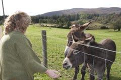 Tourist at a farm feeding donkeys Stock Photos