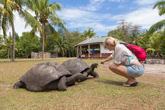 Tourist feeding Aldabra giant tortoises on Curieuse island, Seychelles. Royalty Free Stock Photography