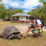 Tourist feeding Aldabra giant tortoises on Curieuse island, Seychelles. Royalty Free Stock Image