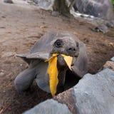 Tourist feeding Aldabra giant turtle on La Digue island, Seychelles. Royalty Free Stock Photos