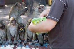 Tourist Feeding Macaque Monkeys Stock Photo