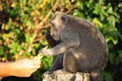 Tourist feeding a monkey. Tourist giving a semi-wild monkey a banana in the Uluwatu temple in the south of Bali stock image