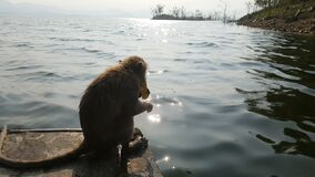Tourist feeding monkeys on a boat. the monkeys live on the island, which is a place where tourists can take a boat trip. Tourist feeding monkeys on a boat. the stock video footage