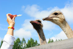 Tourist feeding an ostrich. In the zoo Royalty Free Stock Photo