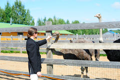 Tourist feeding ostriches Stock Photos