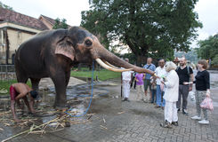 A tourist feeds a ceremonial elephant being washed within the Temple of the Sacred Tooth Relic complex in Kandy, Sri Lanka. Stock Photography