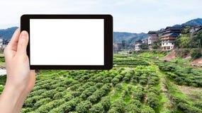 Tourist fotografiert Feld des grünen Tees in Chengyang Lizenzfreie Stockbilder