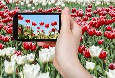 Tourist fotografiert Wiese von roten und weißen Tulpen Lizenzfreies Stockbild
