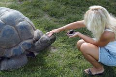 Tourist and giant turtle. Woman tourist met and playing with the giant turtle Stock Photo
