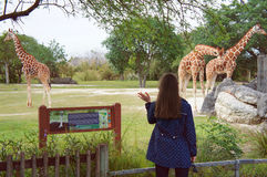 Tourist girl look at the giraffes in the Miami Metro Zoo Royalty Free Stock Photography
