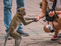 Tourist Give Food to Monkey in Batu Caves. Malaysia Royalty Free Stock Images