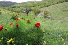 The tourist goes along the valley, Red peonies on a background of green hills, white sky. The tourist goes along the valley, active leisure, walks in hilly royalty free stock image