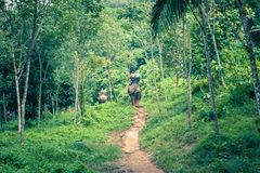 Tourist Group Rides Through the Jungle on the Backs of Elephants. Elephant Trekking Through Jungle in Northern Thailand stock images