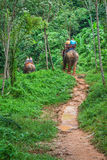 Tourist Group Rides Through the Jungle on the Backs of Elephants. Elephant Trekking Through Jungle in Northern Thailand royalty free stock image
