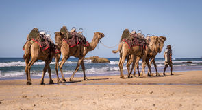 Tourist guide walking camels on beach in Australia Royalty Free Stock Photography