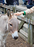 Touching donkey in the zoo. Tourist hand touching donkey in the zoo stock photography