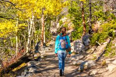 Tourist hiking in aspen grove at autumn. Woman tourist walking on trail in aspen grove at autumn in Rocky Mountain National Park. Colorado, USA Royalty Free Stock Photo