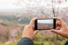 Tourist holding phone mobile taking photo cerasoides tree Stock Images