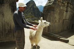 Tourist and llama. In Machu-Picchu city Stock Image