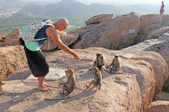 A tourist man feeds monkeys with bananas on the Anjaneya hill and Hanuman temple in Hampi. Monkeys take bananas.  stock images