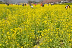 Tourist in Mustard field Royalty Free Stock Photography