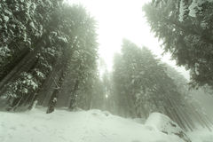 Tourist path covered with snow in the forest in a foggy day. Stock Image