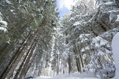 Tourist path covered with snow in the forest. Stock Photography