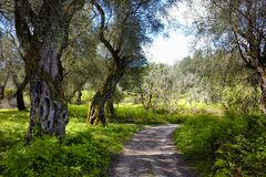 Tourist path goes through an olive grove in Corfu, Greece.  royalty free stock image
