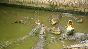 Tourist people feeding animal,Crocodile farm,vietnam stock footage