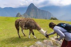 Tourist petting a llama at Machu Picchu royalty free stock image