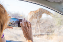 Tourist photographing Giraffe with smartphone from car while on self drive wildlife safari. Etosha National Park, top travel desti Royalty Free Stock Image