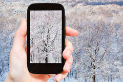 Tourist photographs bare oak tree in frozen forest Royalty Free Stock Image