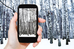Tourist photographs of birch grove in cold winter. Travel concept - tourist takes picture of snowy birch grove in cold winter day on smartphone Royalty Free Stock Photo